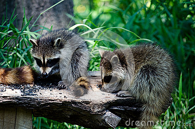 Bird food is fine by us hungry raccoons