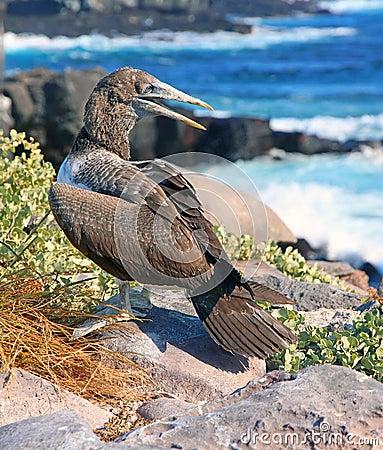 Bird Of the Galapagos