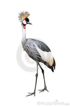 Free Bird Gray Crown Crane Stock Photo - 12251930