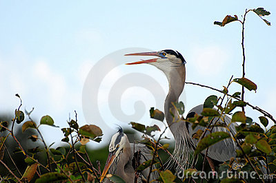 Bird: Great Blue Heron