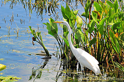 Bird: Great White Egret
