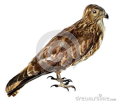 Bird a harrier is a bog