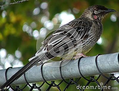 Bird - Honeyeater