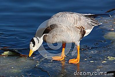 Bird on the ice