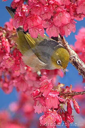 Free Bird In Cherry Tree Royalty Free Stock Photography - 3013857