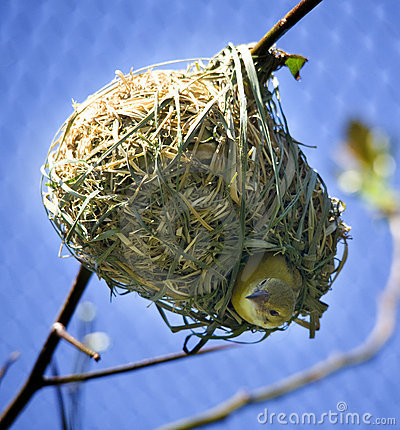 Free Bird In Nest Looking Down Royalty Free Stock Images - 8837029
