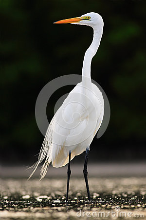 Free Bird In The Water. White Heron, Great Egret, Egretta Alba, Standing In The Water In The March. Beach In Florida, USA. Water Bird W Stock Image - 75950191