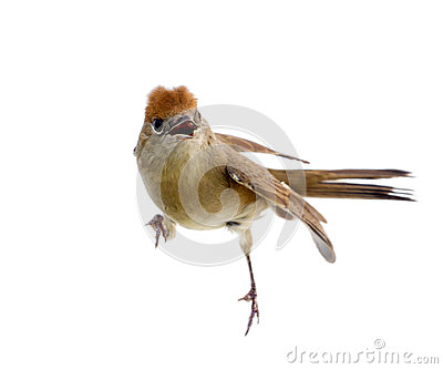 Bird isolated on a white background (Black-cap)