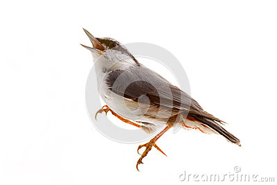 Bird isolated on a white background. nutcracker