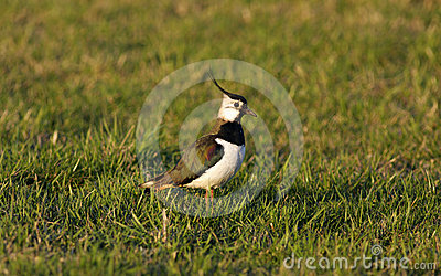 Bird - Lapwing