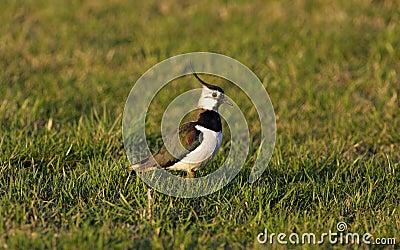 Bird - Lapwing