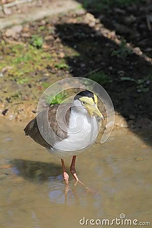 Free Bird Lapwing Stock Images - 44886994