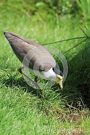 Free Bird Lapwing Stock Image - 44887001