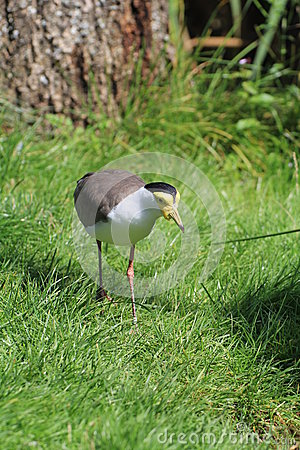 Free Bird Lapwing Royalty Free Stock Photos - 44887008