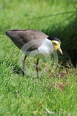 Free Bird Lapwing Royalty Free Stock Image - 44887096