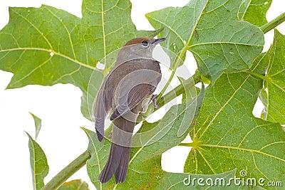 Bird on a maple (Black-cap)