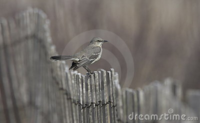 Bird - Mockingbird