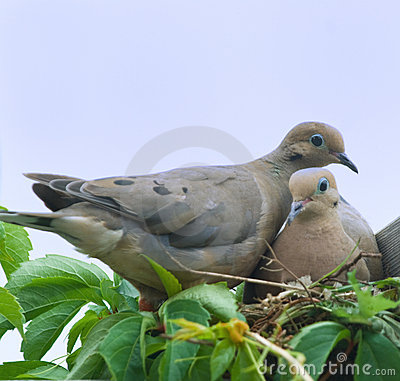 Bird-Mourning doves(zenaida macroura)