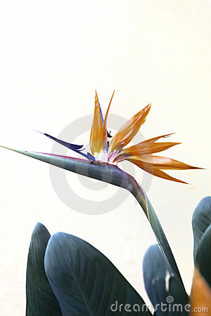 Free Bird Of Paradise Flower Stock Photos - 15044073
