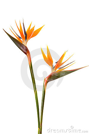 Free Bird Of Paradise Flower Royalty Free Stock Photos - 4606208