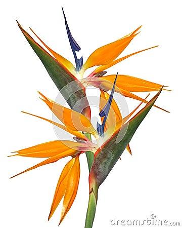Free Bird Of Paradise Strelitzia Isolated Royalty Free Stock Images - 7436609