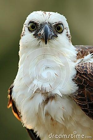 Free Bird Of Prey Osprey, Pandion Haliaetus, Feeding Catch Fish, Belize. Detail Face Portrait Of Osprey In Evening Light. Bird Big Eye, Stock Image - 88566061