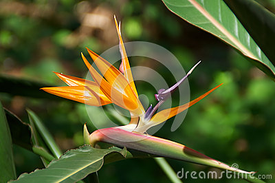 Bird of Paradise flower bloom