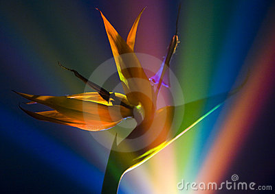 Bird of Paradise Lily