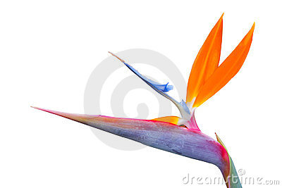 Bird of paradise single flower