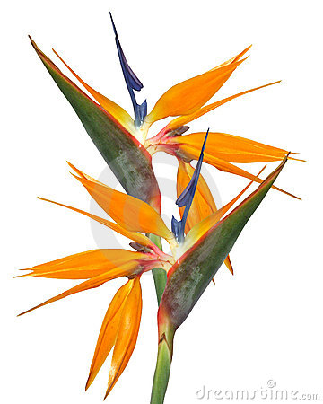 Bird of Paradise Strelitzia isolated