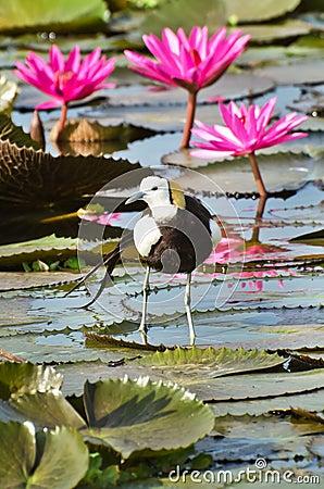 Bird (Pheasant-tailed Jacana ) , Thailand