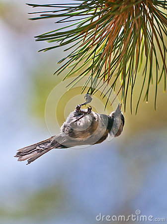 Bird on the Pine tree