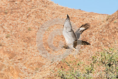 Bird of pray in Namibia