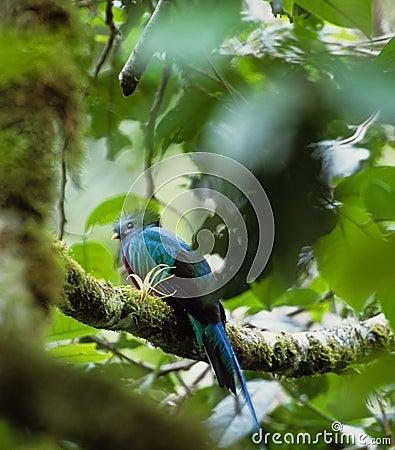 Free Bird Quetzal Stock Image - 8117751