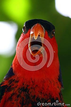 Bird - Red Parrot