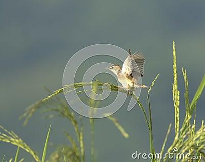 Bird on rice