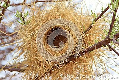 Bird s Nest - Buffalo Weaver - Africa