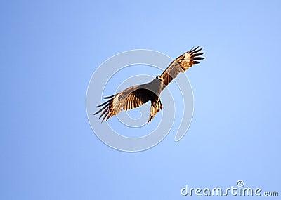 The Bird soaring in heavens