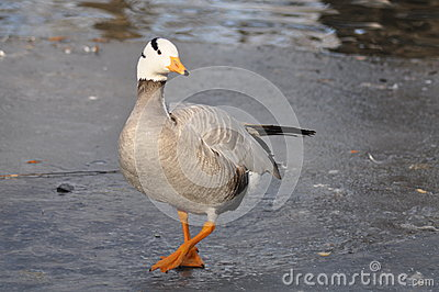A bird standing on ice gracefully