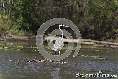 Bird in the swamp