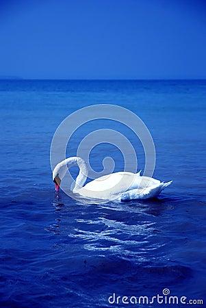 Bird swan Lake