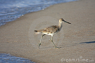 Bird walking on sandy beach