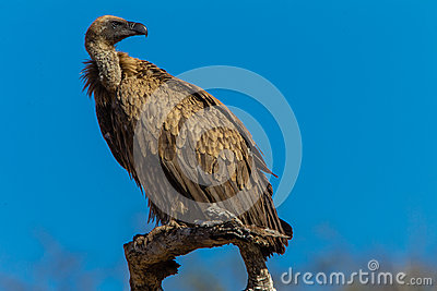 Bird White Backed Vulture Close