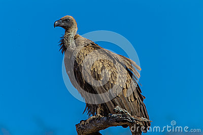 Bird White Backed Vulture Perched