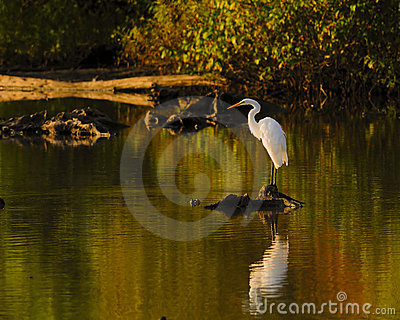 Bird White Heron or Great White Egret reflections