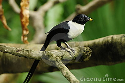 Bird --- White-necked Myna