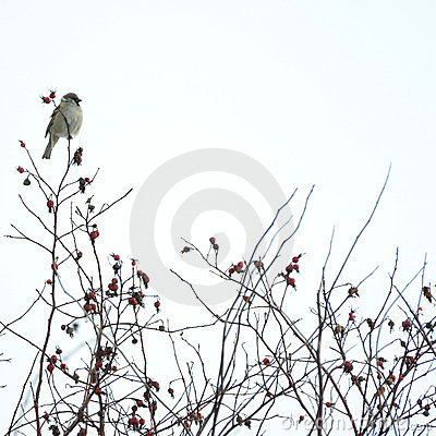Bird on the wild rose bush