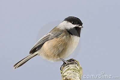 Bird Wild Small Chickadee
