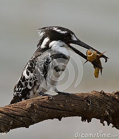 Free Bird With Fish In Beak  Stock Images - 23638664