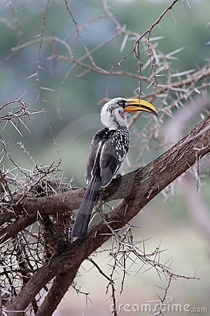 Bird with yellow beak in acacia tree